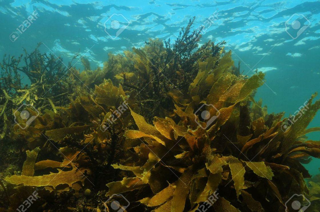 33491879-foresta-di-alghe-poco-profonde-nell-oceano-pacifico-temperato-costituito-da-ecklonia-radiata-e-al